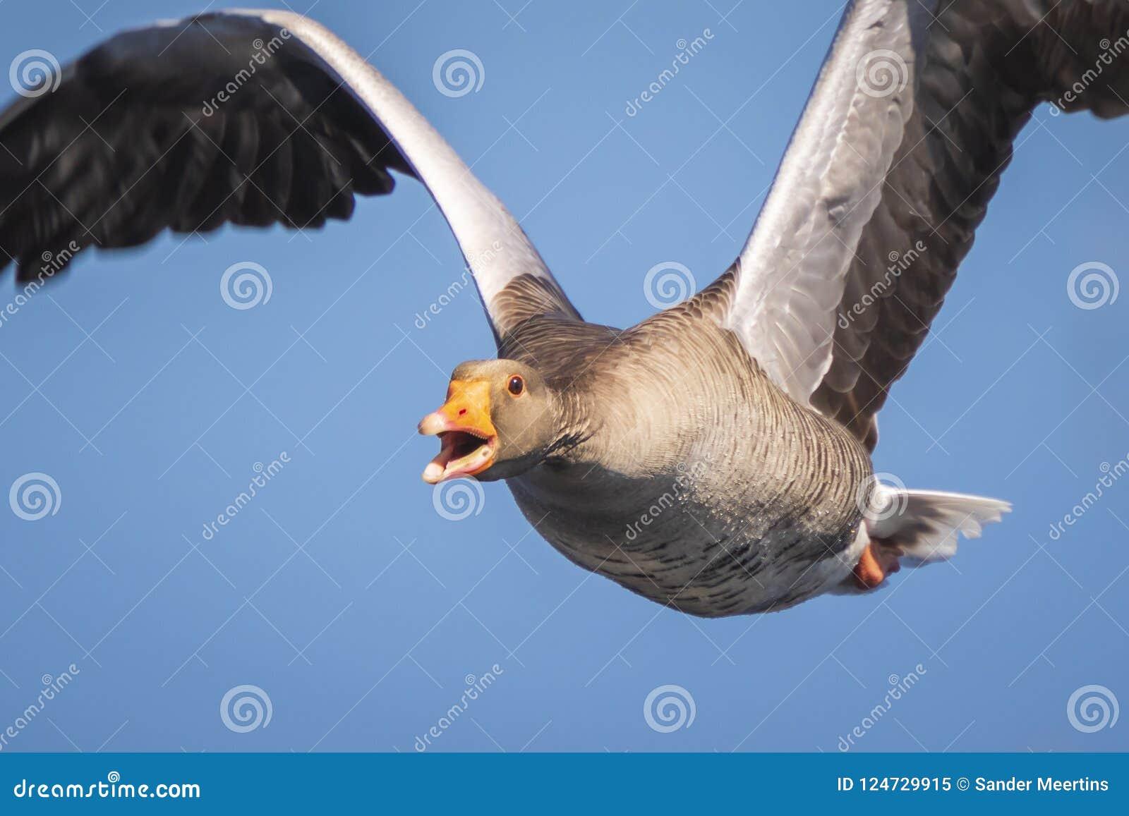 Closeup of a greylag goose Anser Anser imigrating