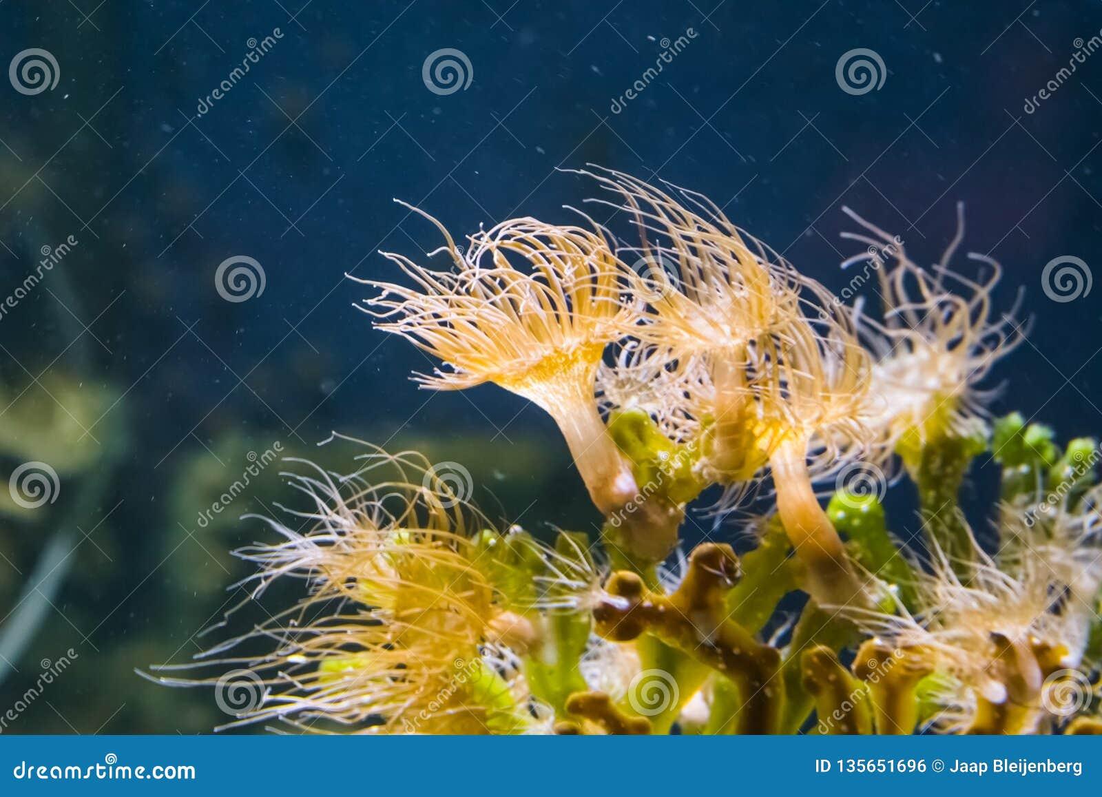 Closeup of a group of plumose sea anemones, tentacled orange anemone, popular pet in aquaculture