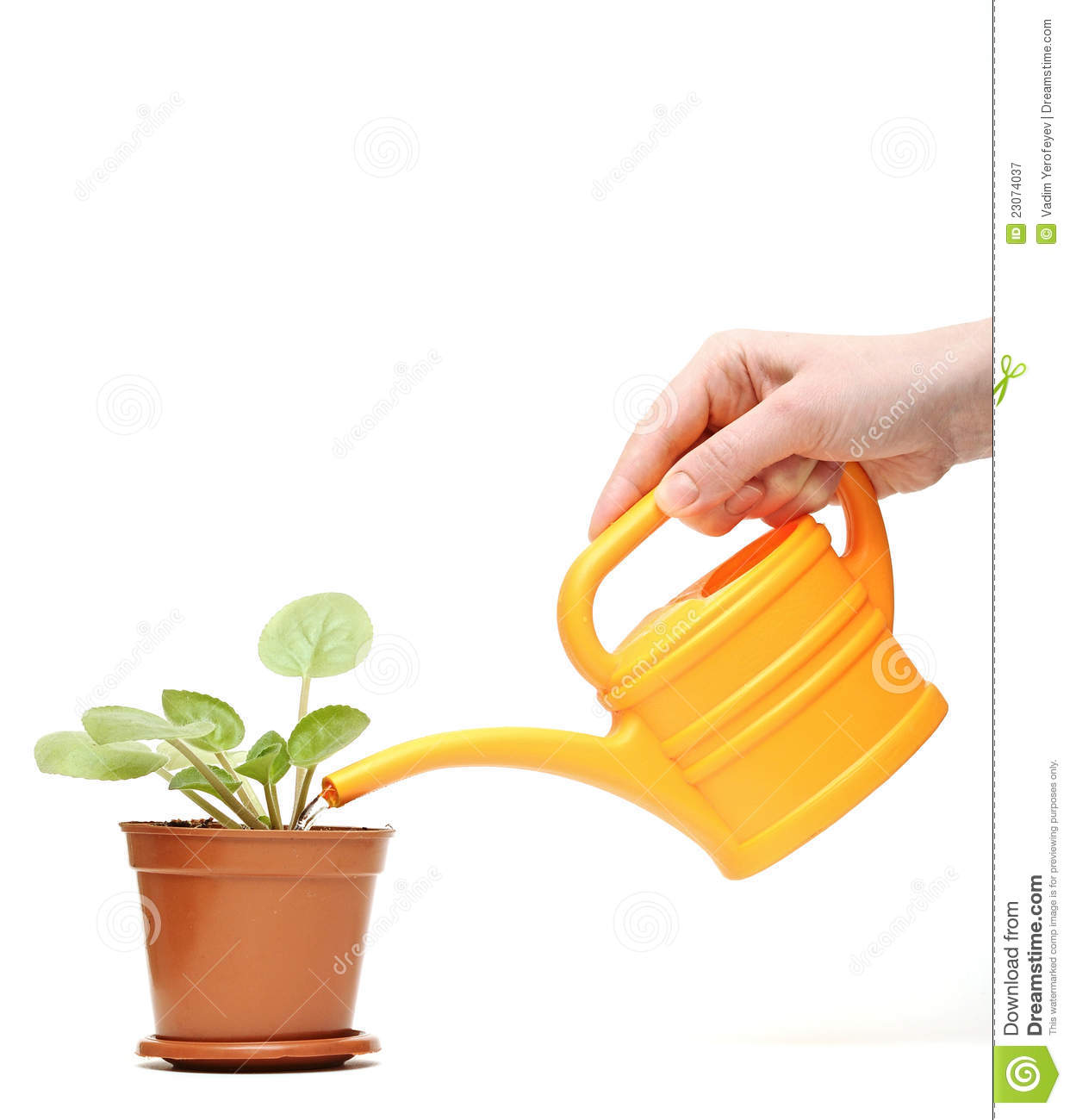 closeup hand watering a plant with watering can royalty free stock