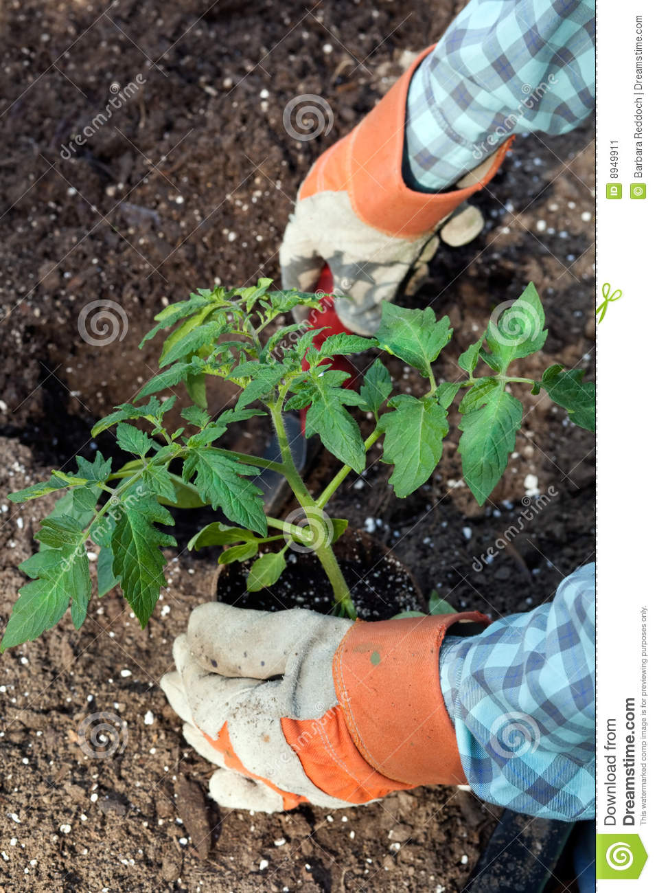 Closeup of hands planting large tomato plant stock image for Big hands for gardening