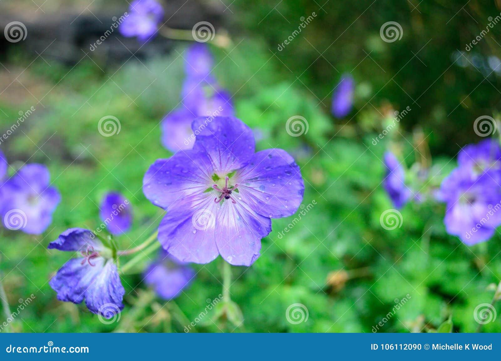 Closeup Hardy Geranium Rozanne
