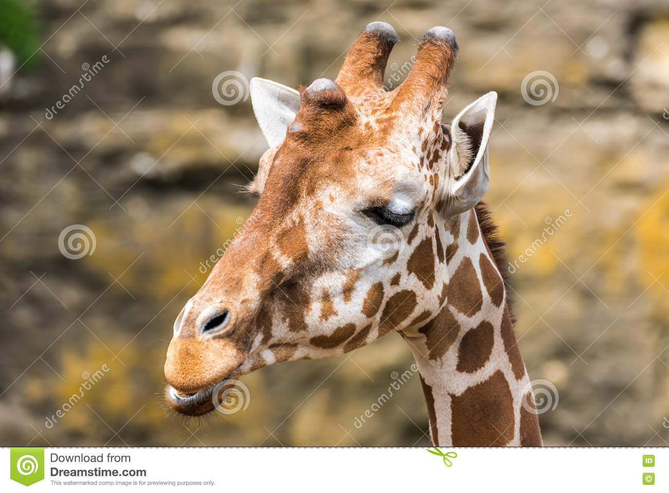 Closeup head view of a Giraffe