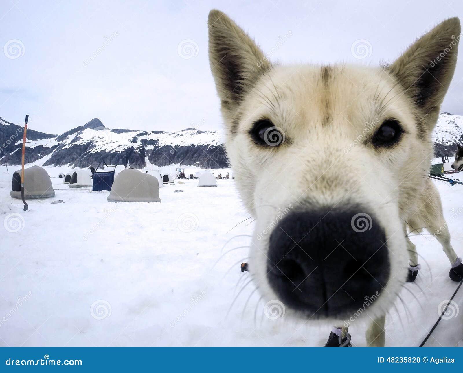 sled dogs cartoon vector