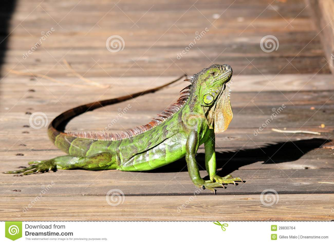 how to raise a baby iguana