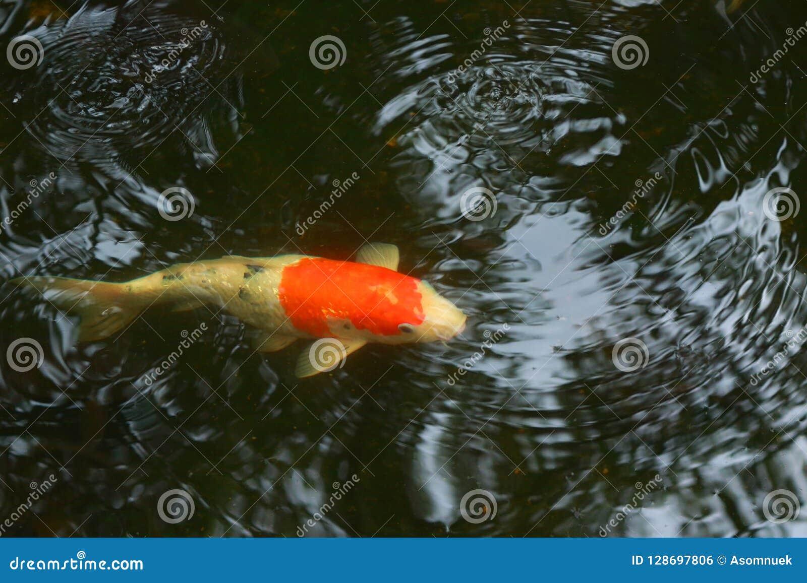 carp fish, best wish forever