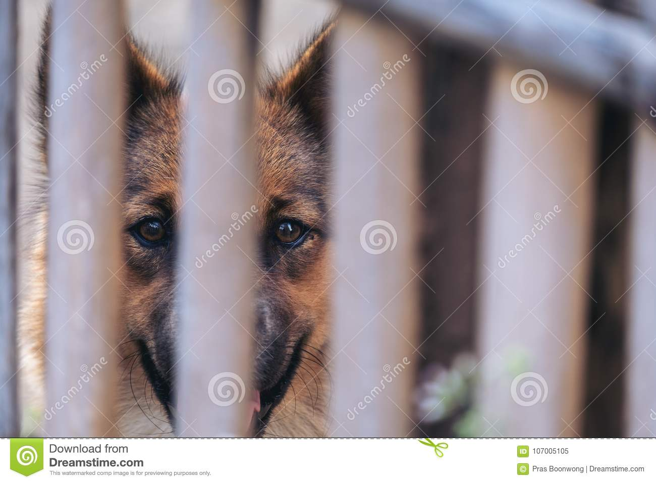 Closeup image of a black and brown Thai dog in a wooden cage