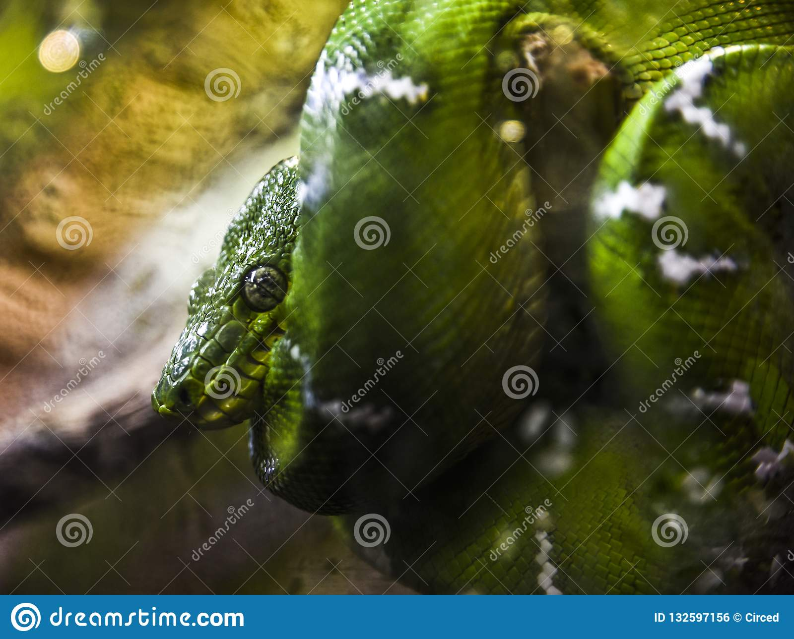 Green Snake sleeps while curled around a branch