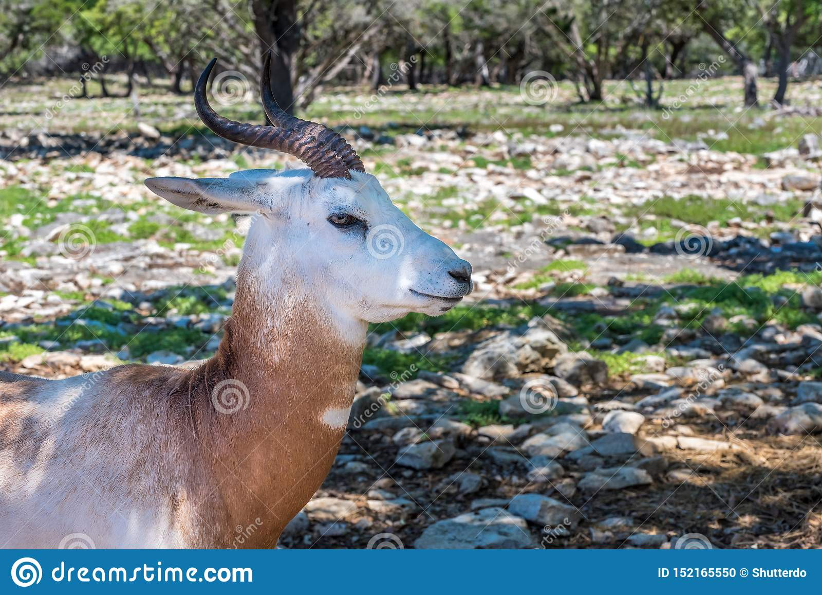 Closeup of an impala antelope head and neck