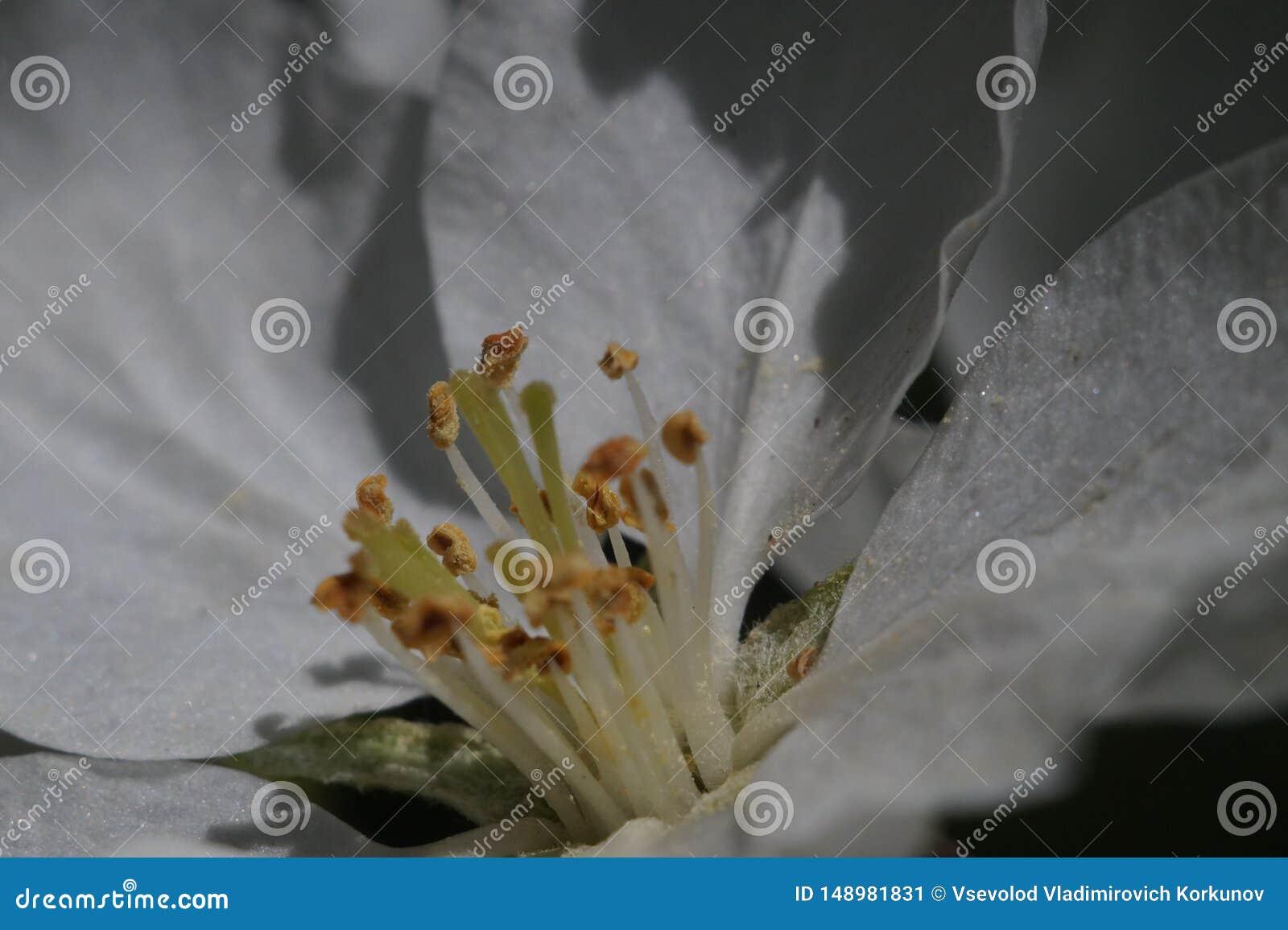 Closeup Inom blomman för äppleträd I zonen av skärpastamens, pistillar och pollen