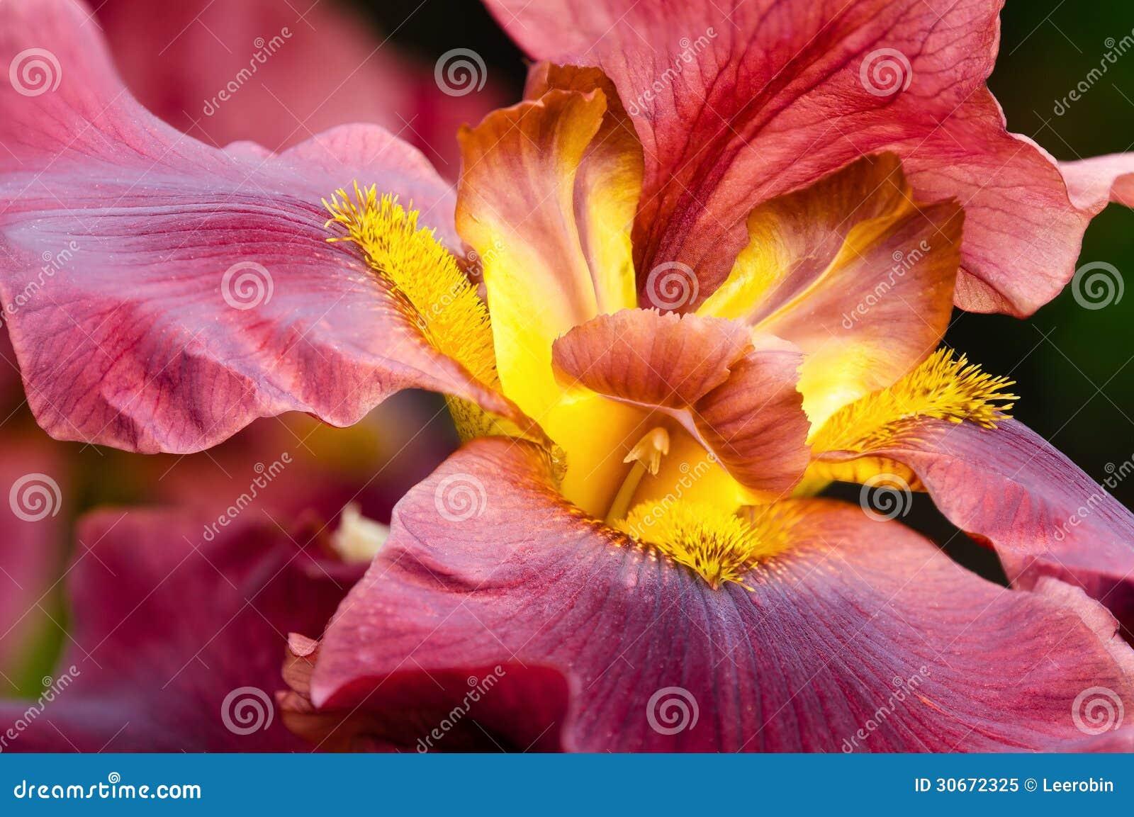 Closeup of Iris flower