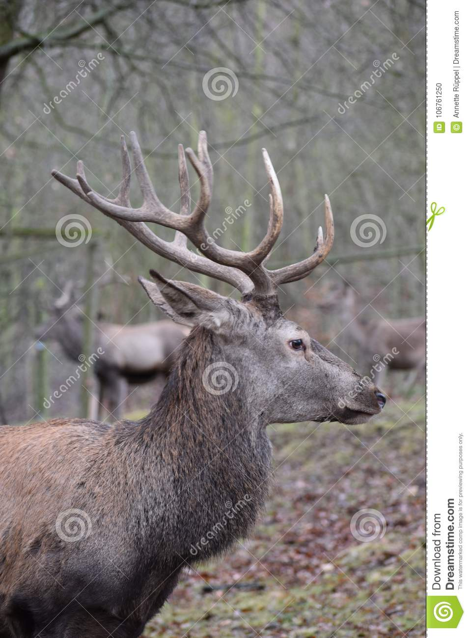 Closeup Of A Kingly Brown Stag