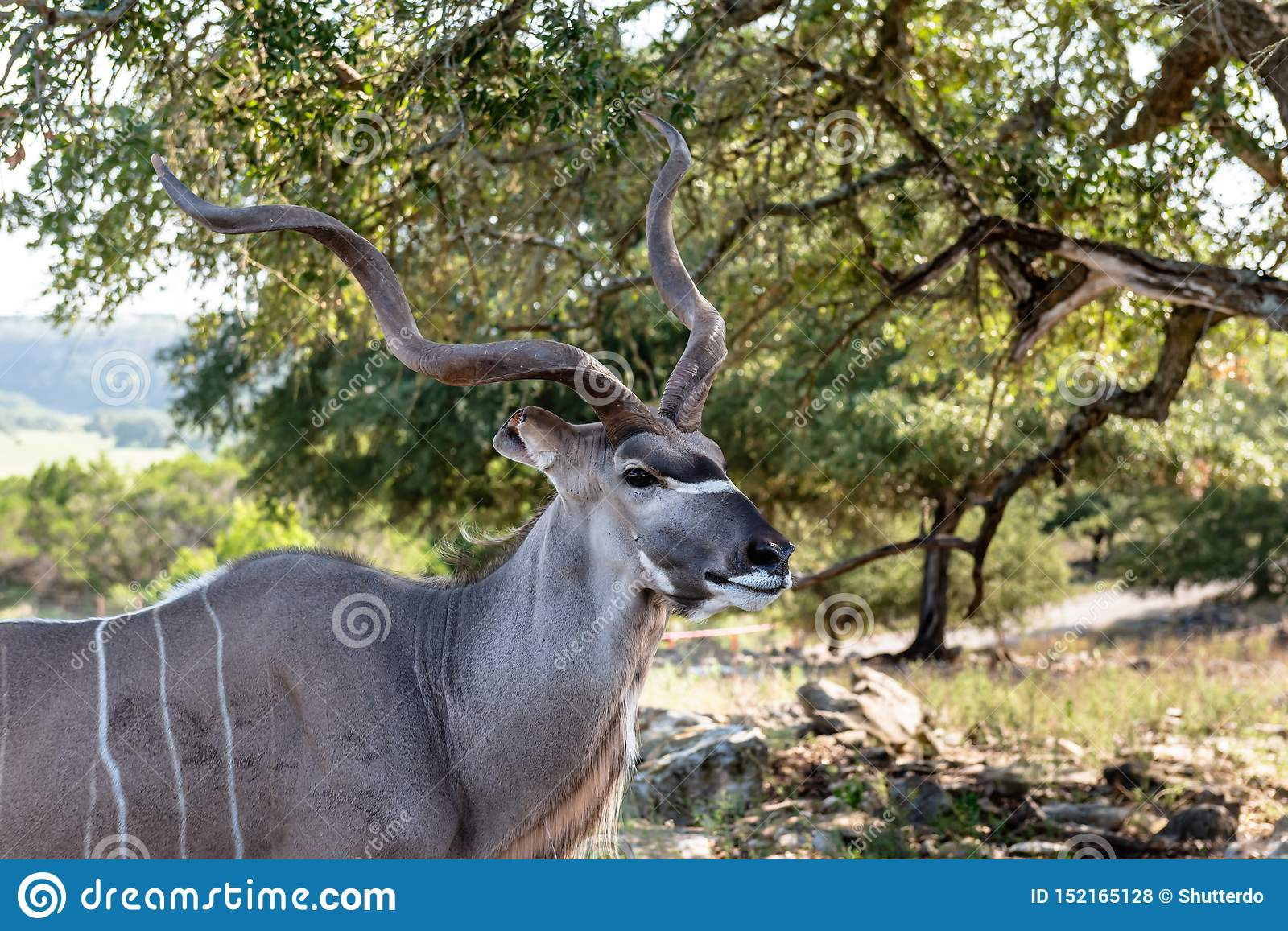 Closeup of kudu antelope male head and shoulders