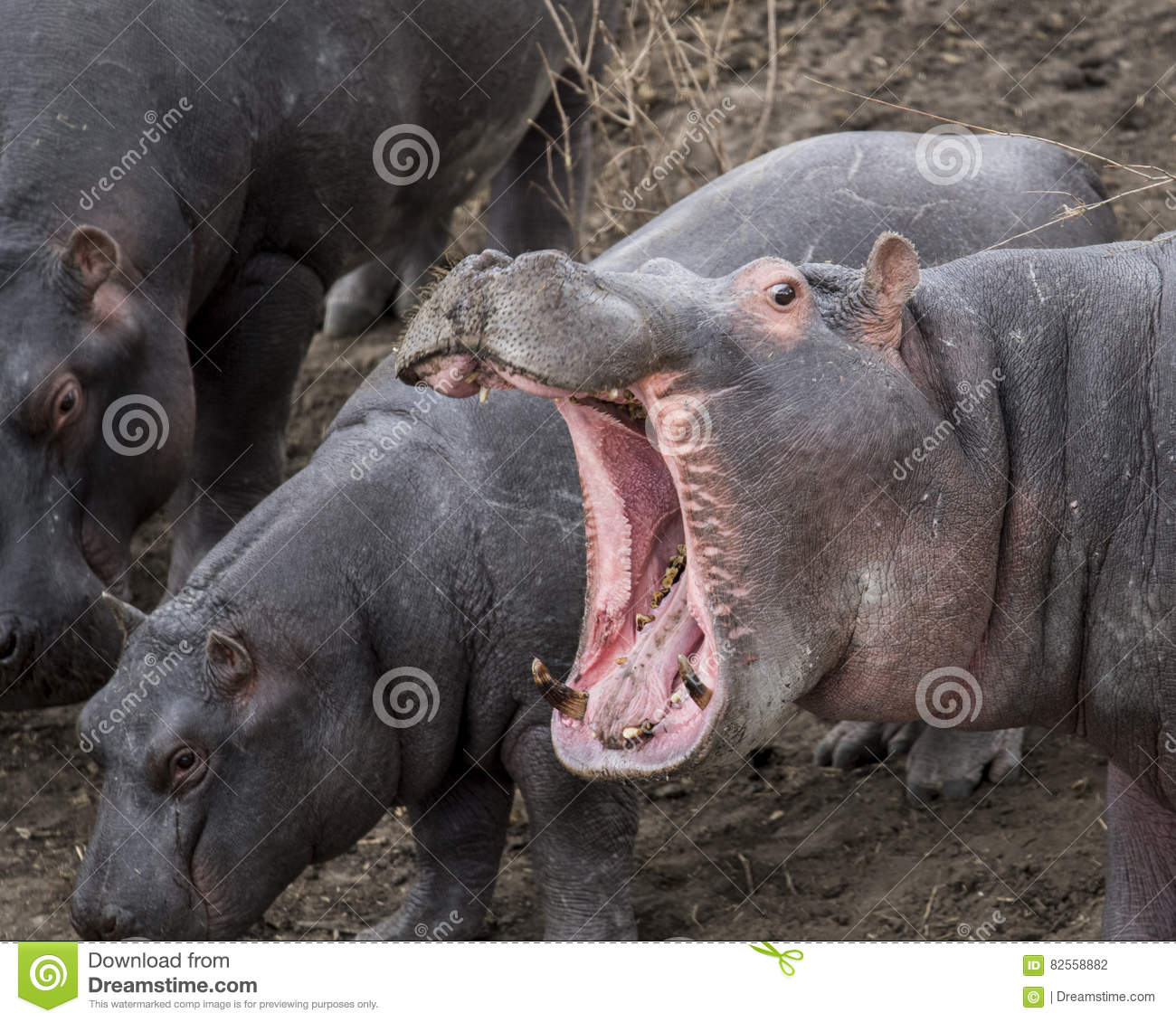 Closeup of large hippo head with mouth wide open showing teeth, standing on land