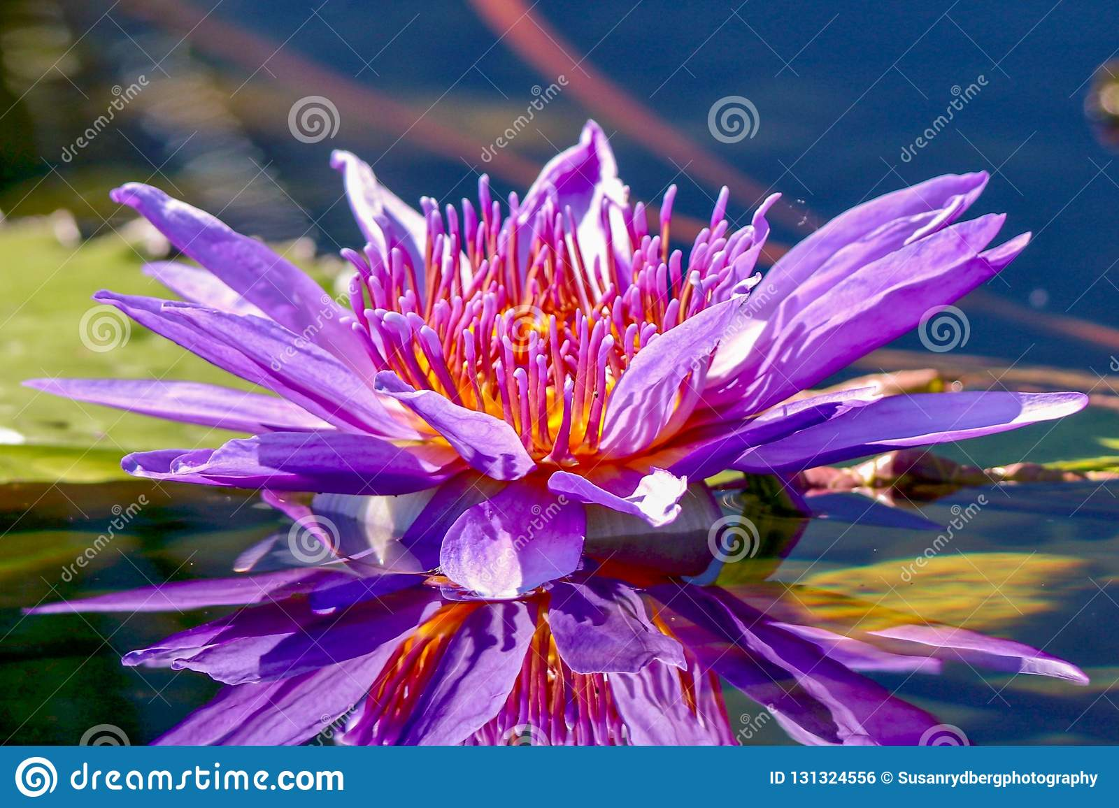 Egyptian Lotus Flower And Reflection In Pond Stock Photo Image Of