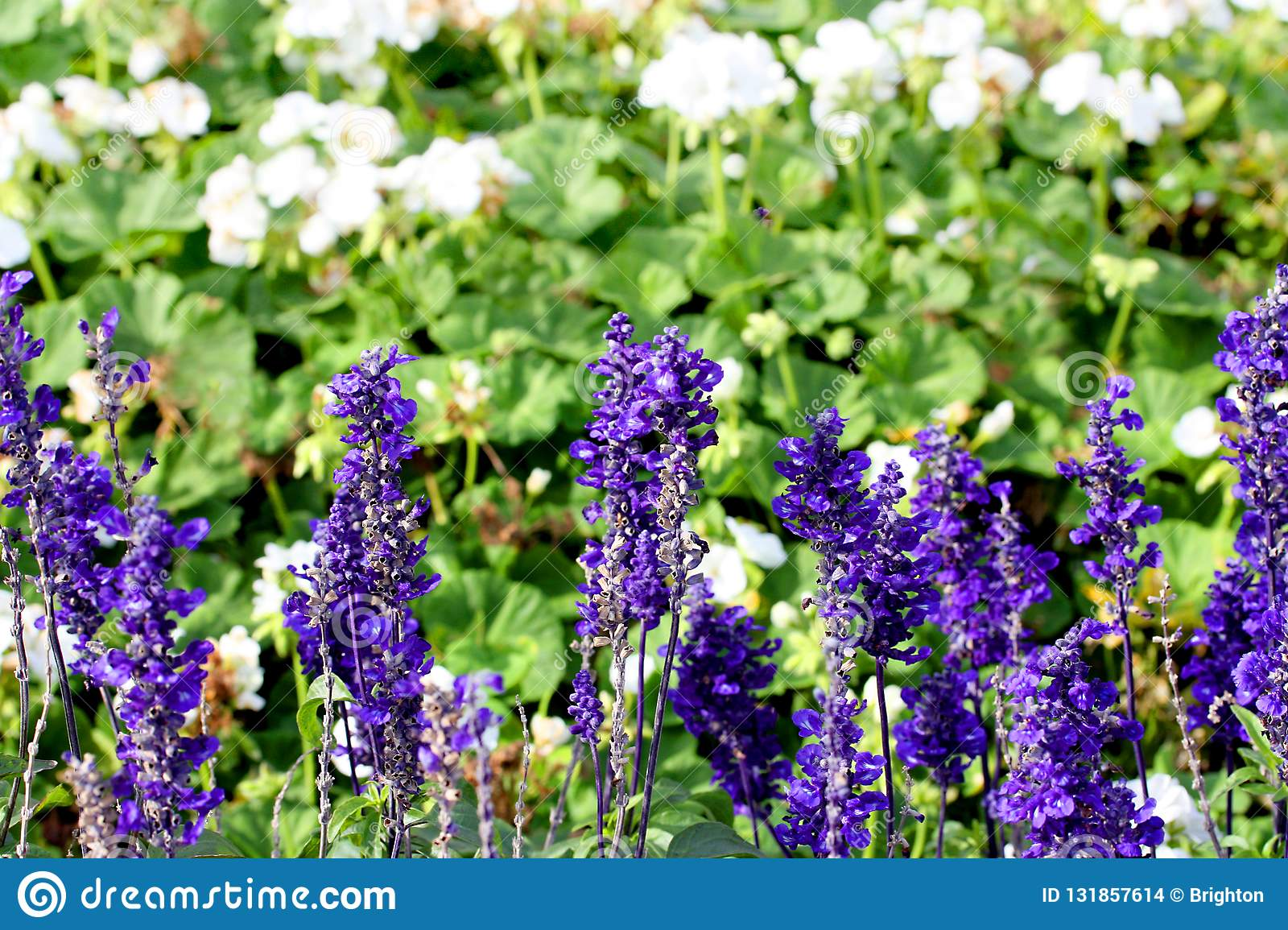 A closeup of lavender plants in flowerbed.