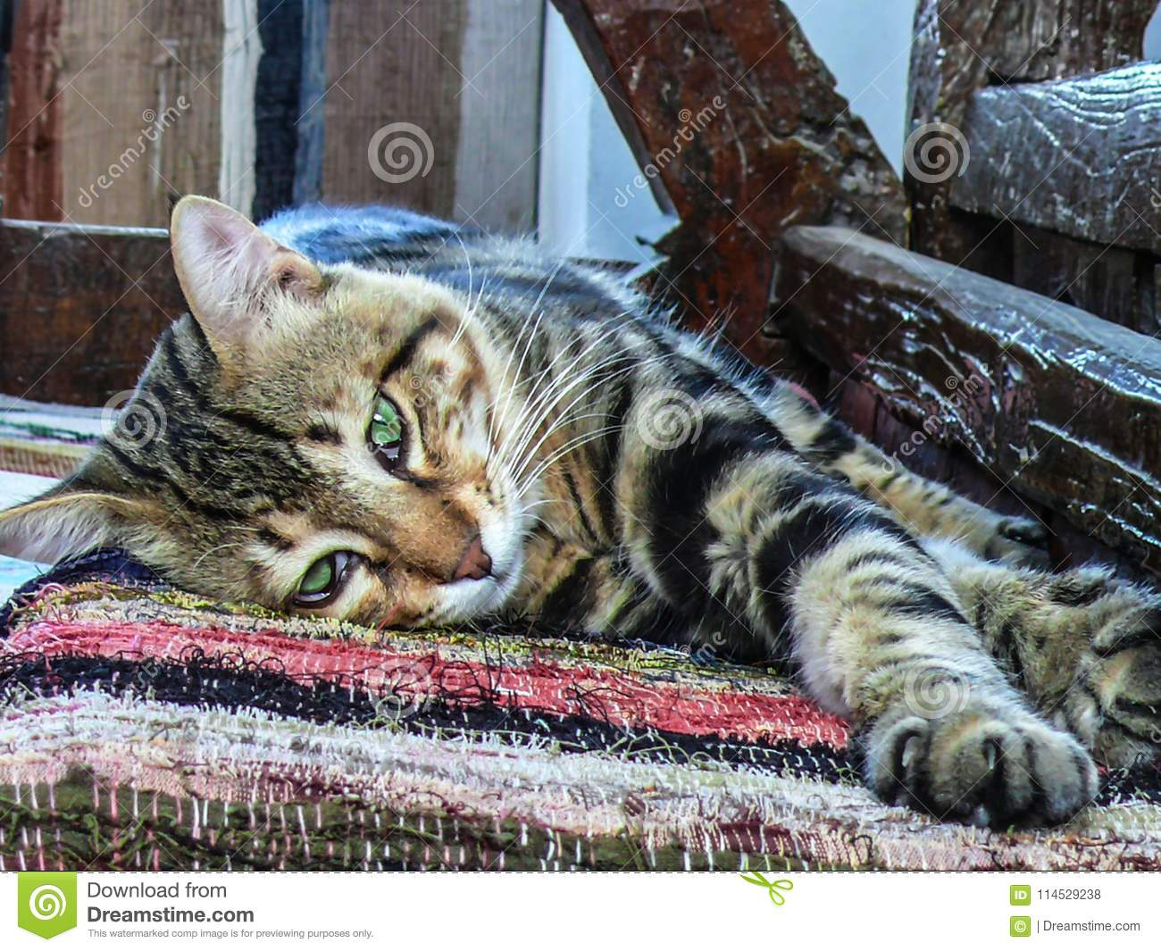 A closeup of a lazy tiger-striped cat lying and looking with it`s fantastic big green eyes.