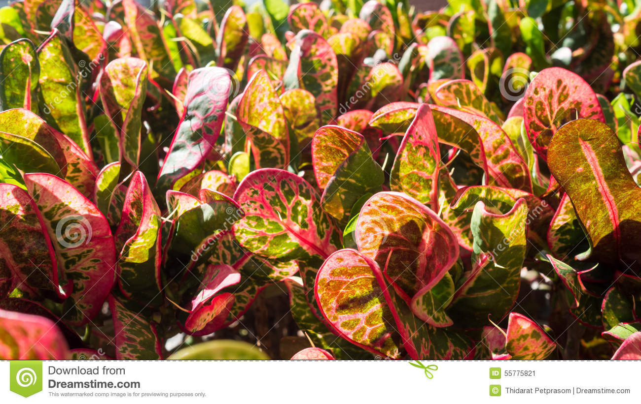 Closeup leaves of Codiaeum variegatum or Garden Croton Petra in Garden as background