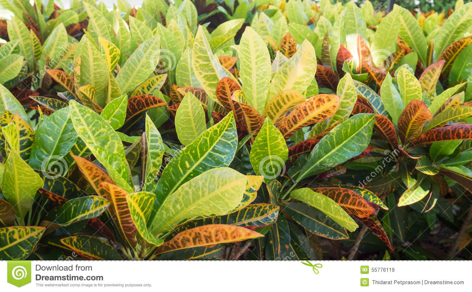 Closeup leaves of Codiaeum variegatum or Garden Croton Petra in Garden as background