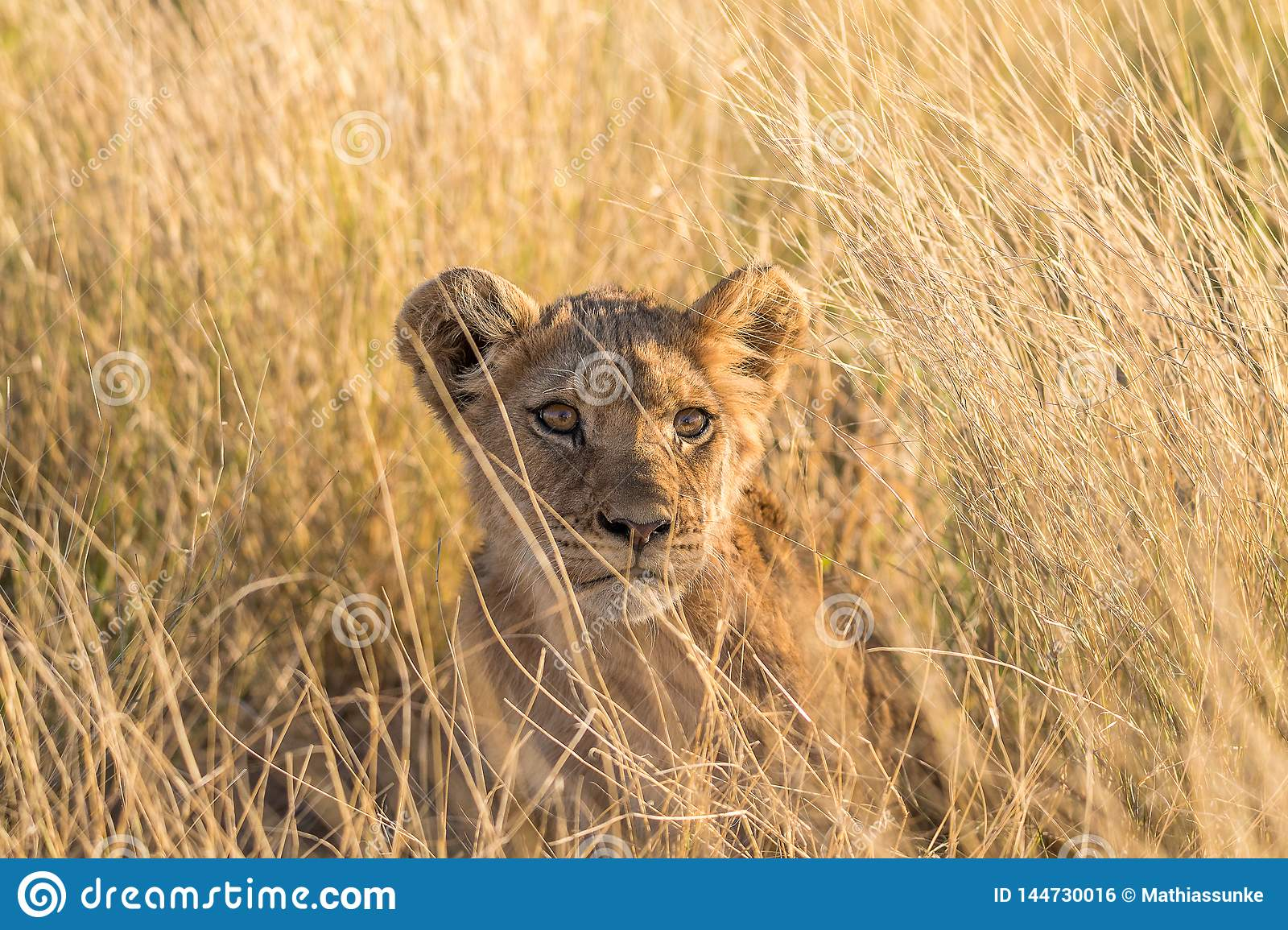 Closeup of a lion cub in the Kalahari