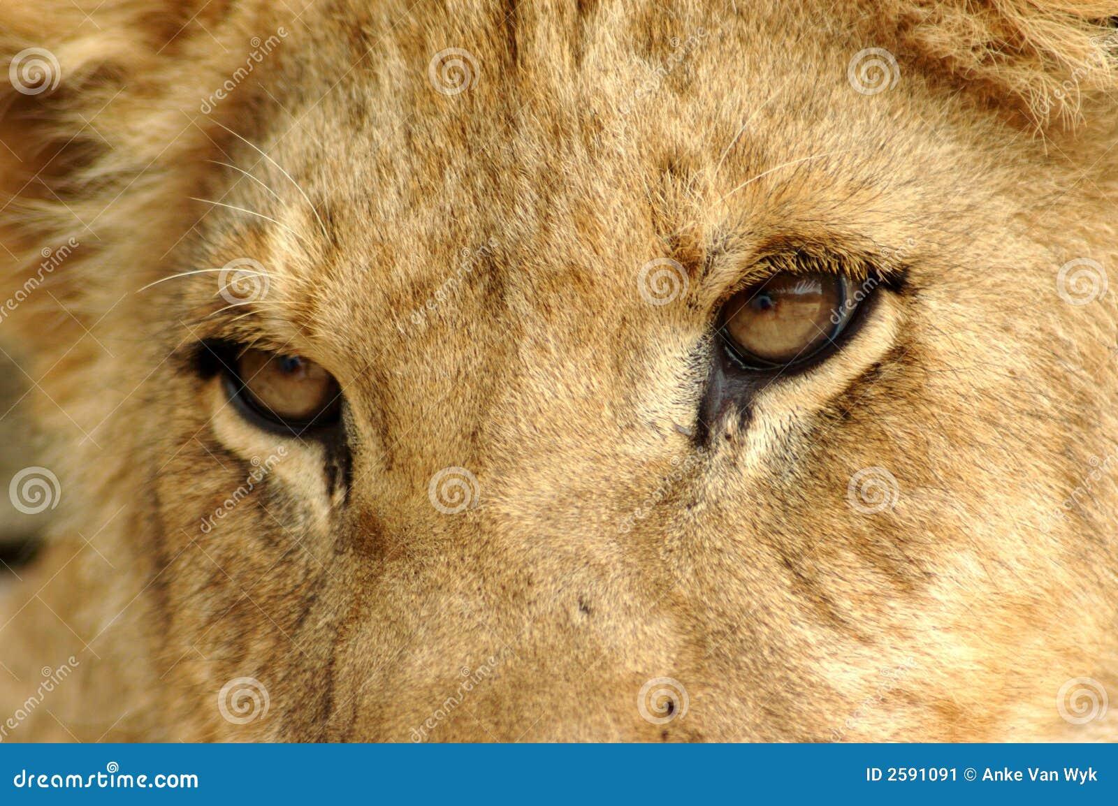 Closeup Lion eyes