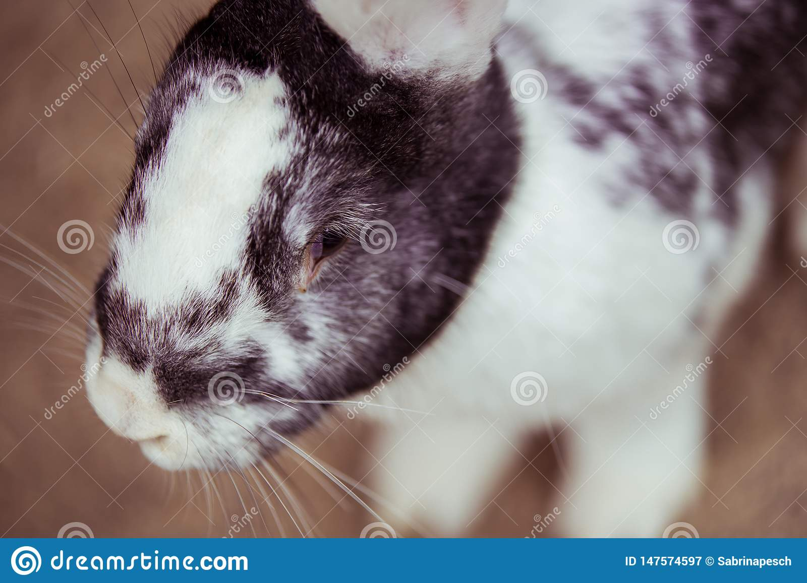 The closeup of a little bunny. The colors of the bunny are white and gray
