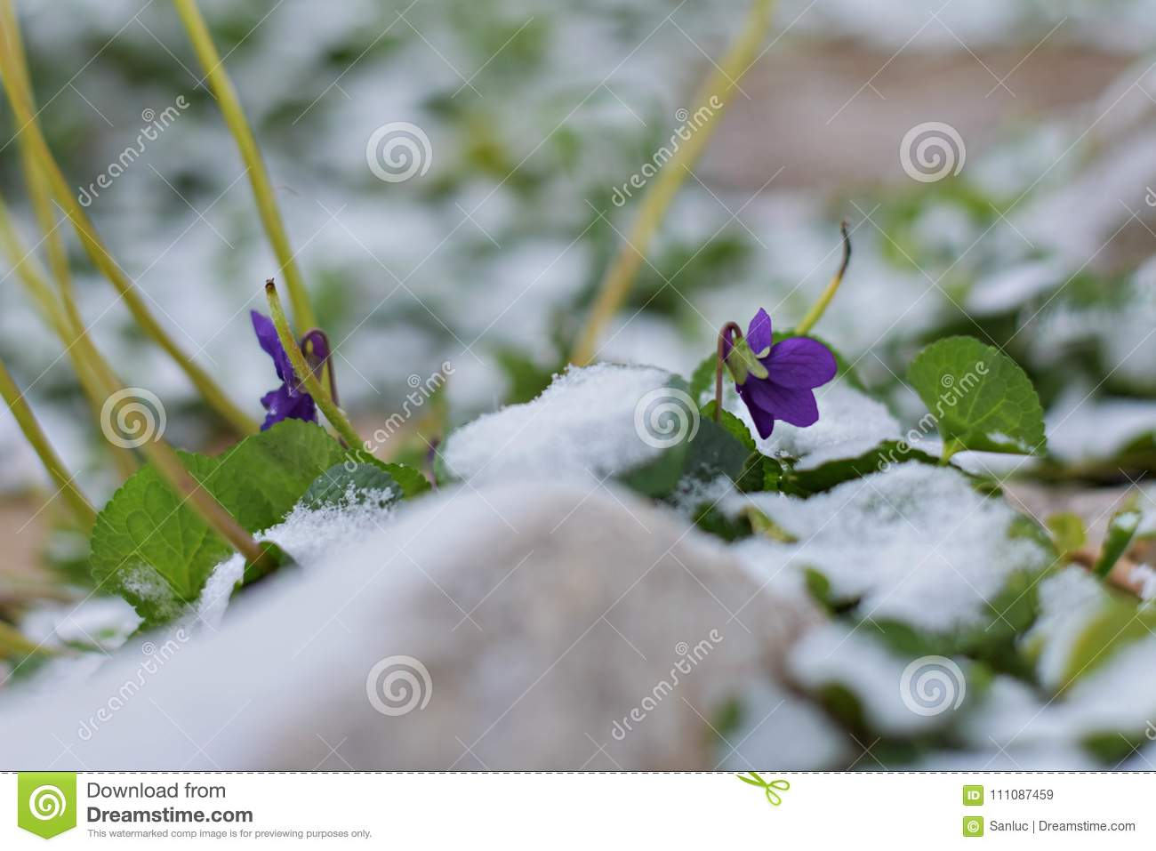 View Of Magic Blooming Spring Flowers Violet Growing From Snow In