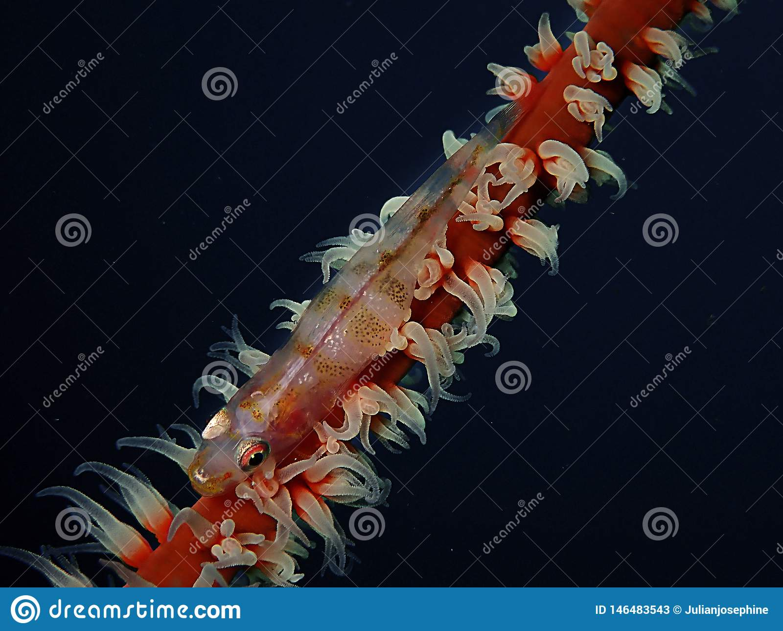 Closeup and macro shot of whip coral goby during leisure dive in Sabah, Borneo.