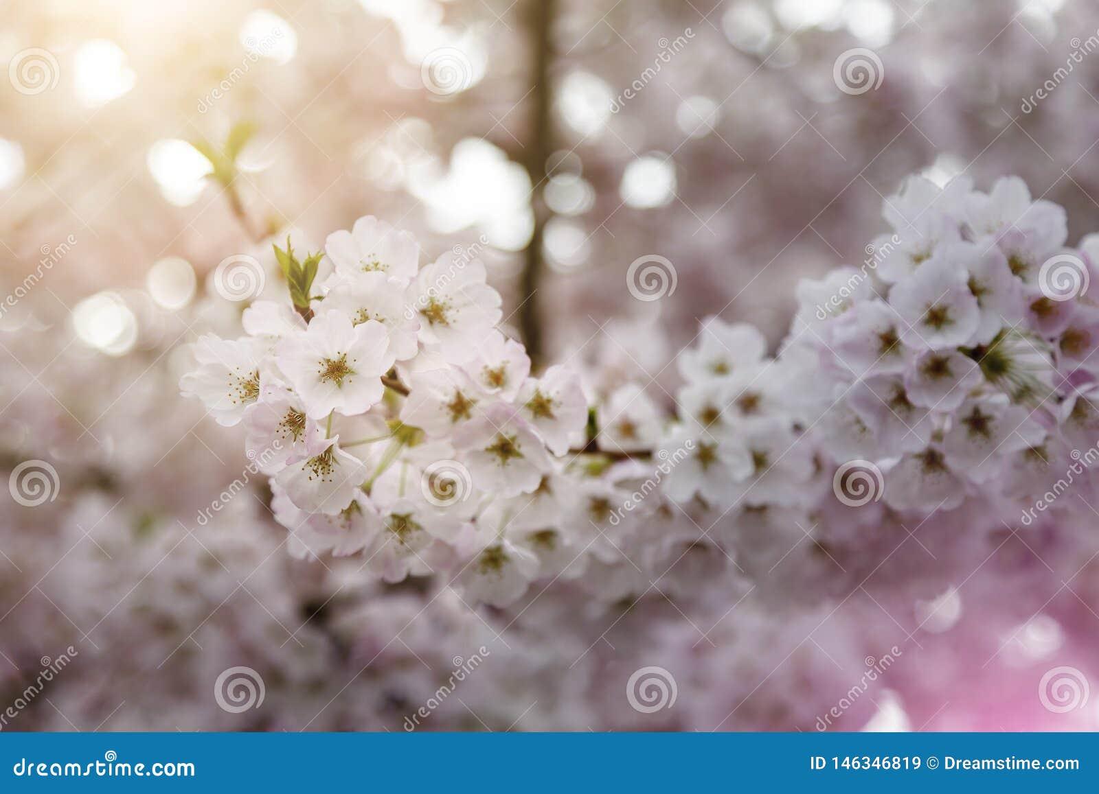 Closeup Macro of Spring Cherry Blossoms, light pink coloring warm sunlight Bokeh