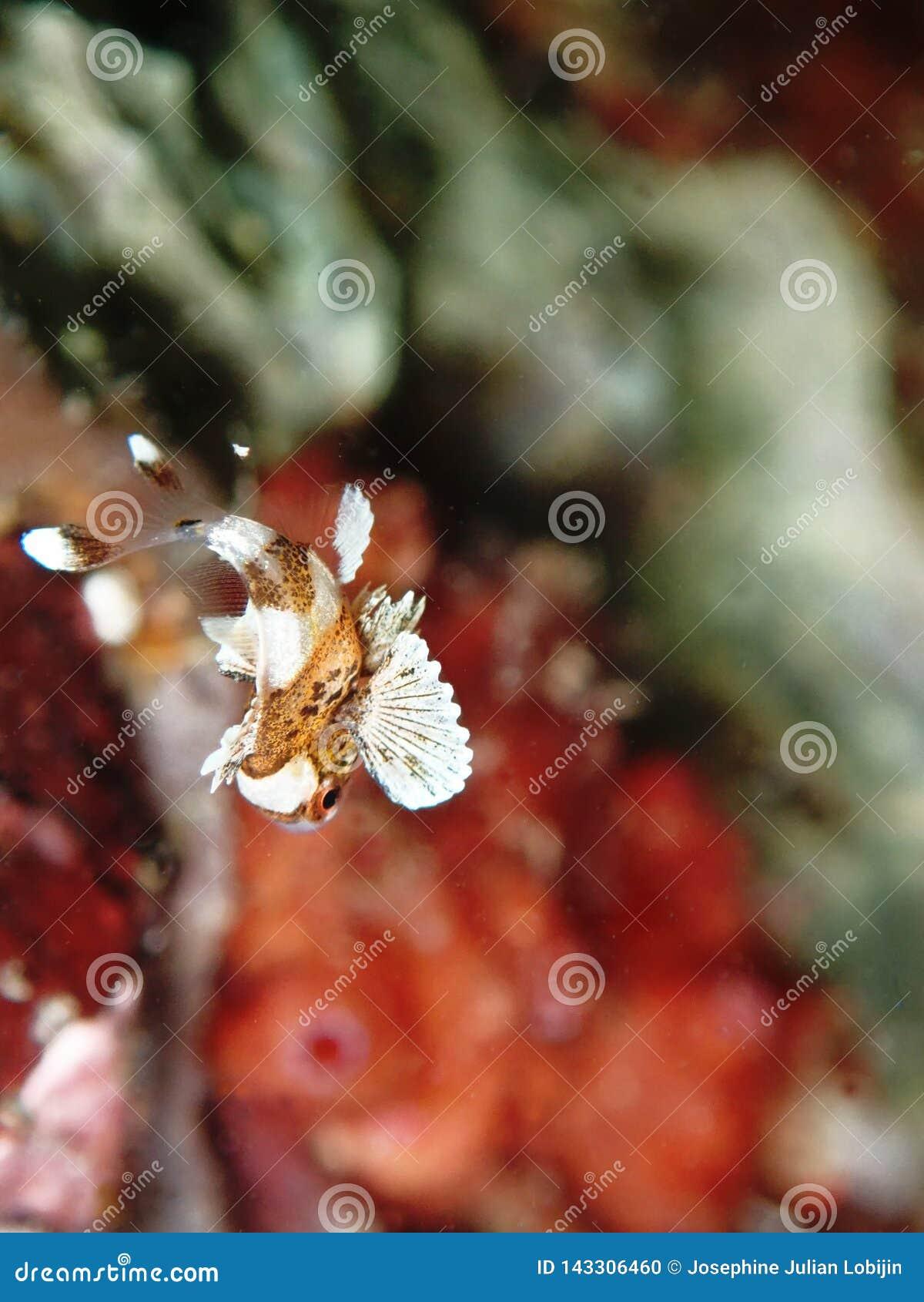 Closeup med den barnsliga harlekinen Sweetlips, skönheten av undervattens- världsdykning i Sabah, Borneo