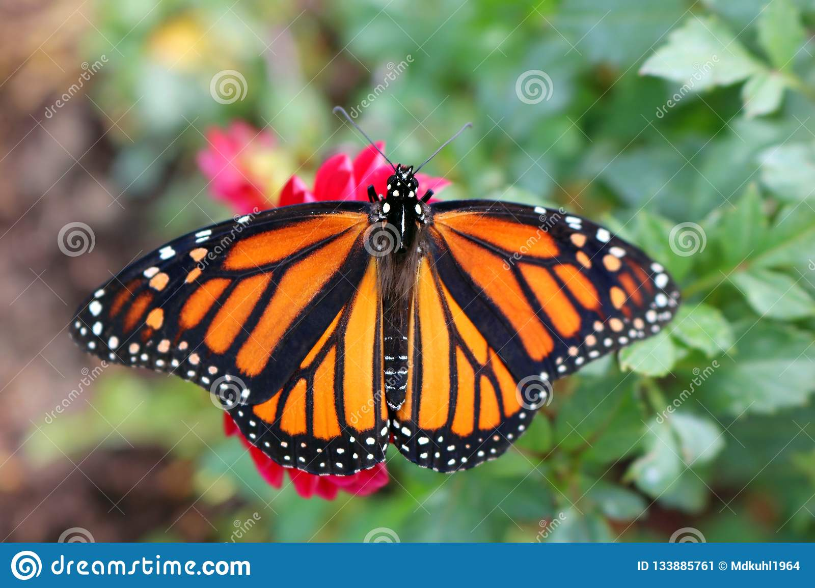 Closeup of a Monarch Butterfly on a red flower with wings opened