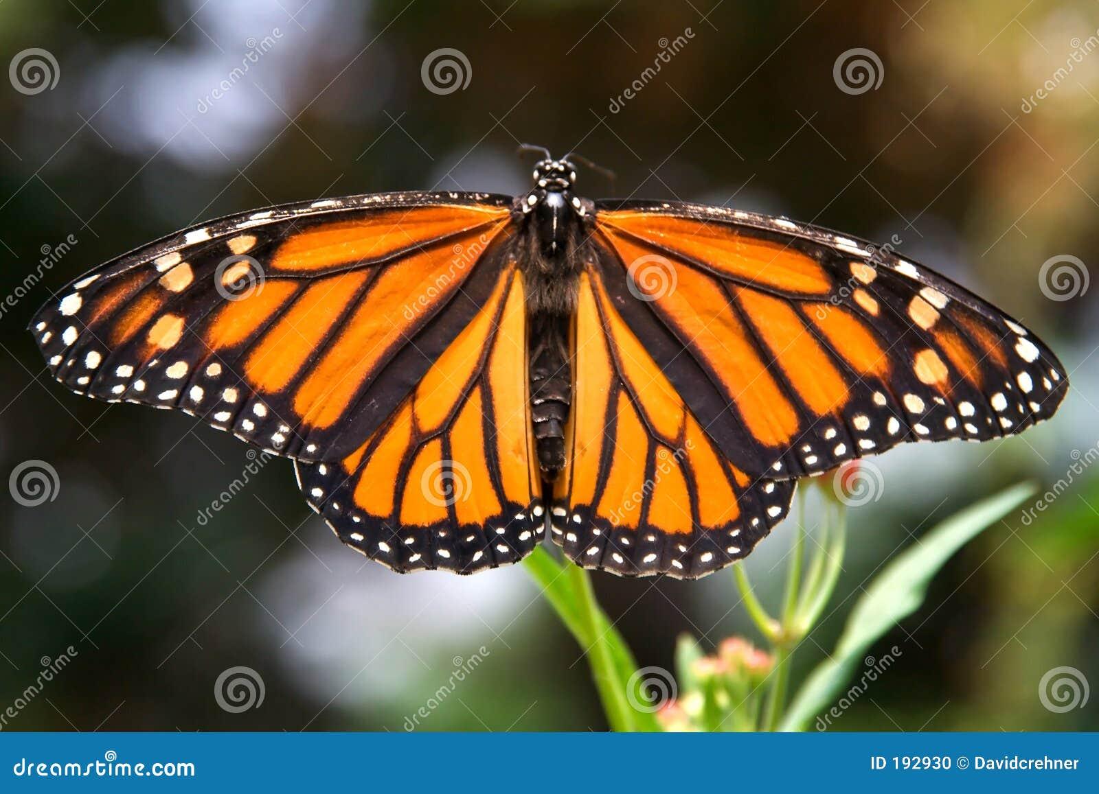 Monarch butterfly wings - photo#25