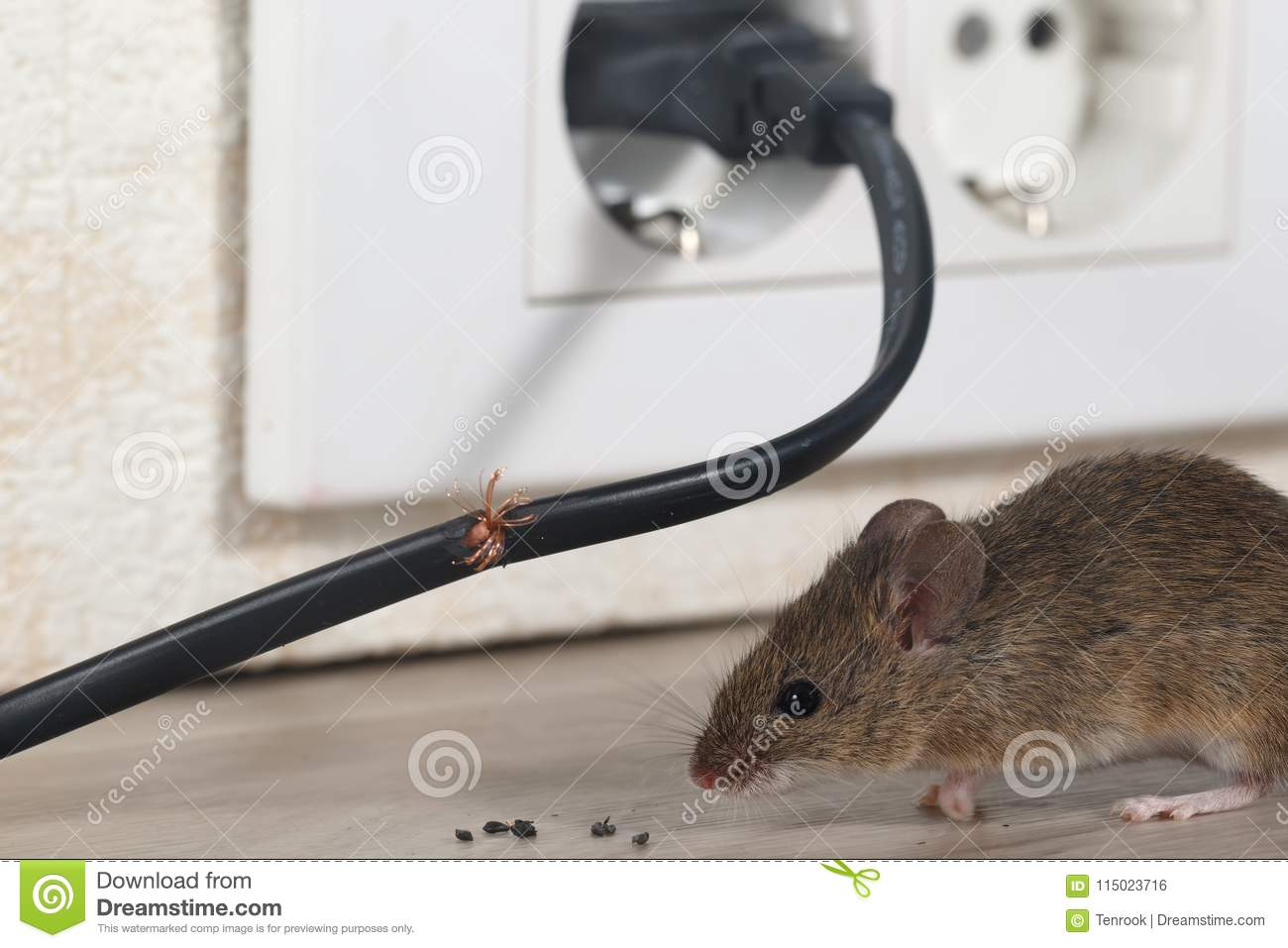 Closeup Mouse Sits Near Chewed Wire In An Apartment Kitchen Stock ...