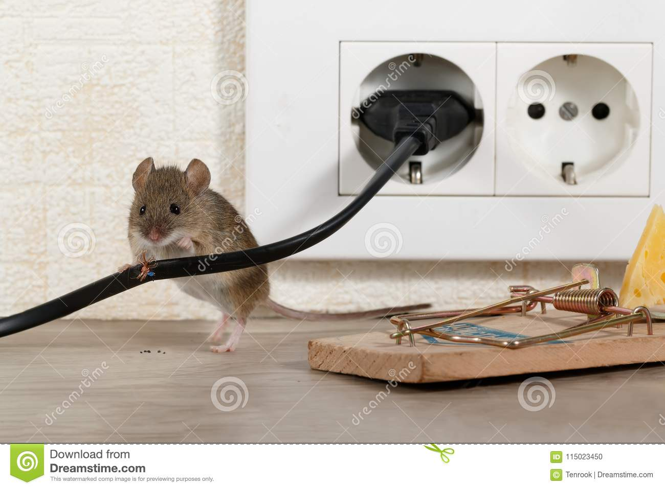 Closeup Mouse Stands Behind Chewed Wire Near Mousetrap And ...