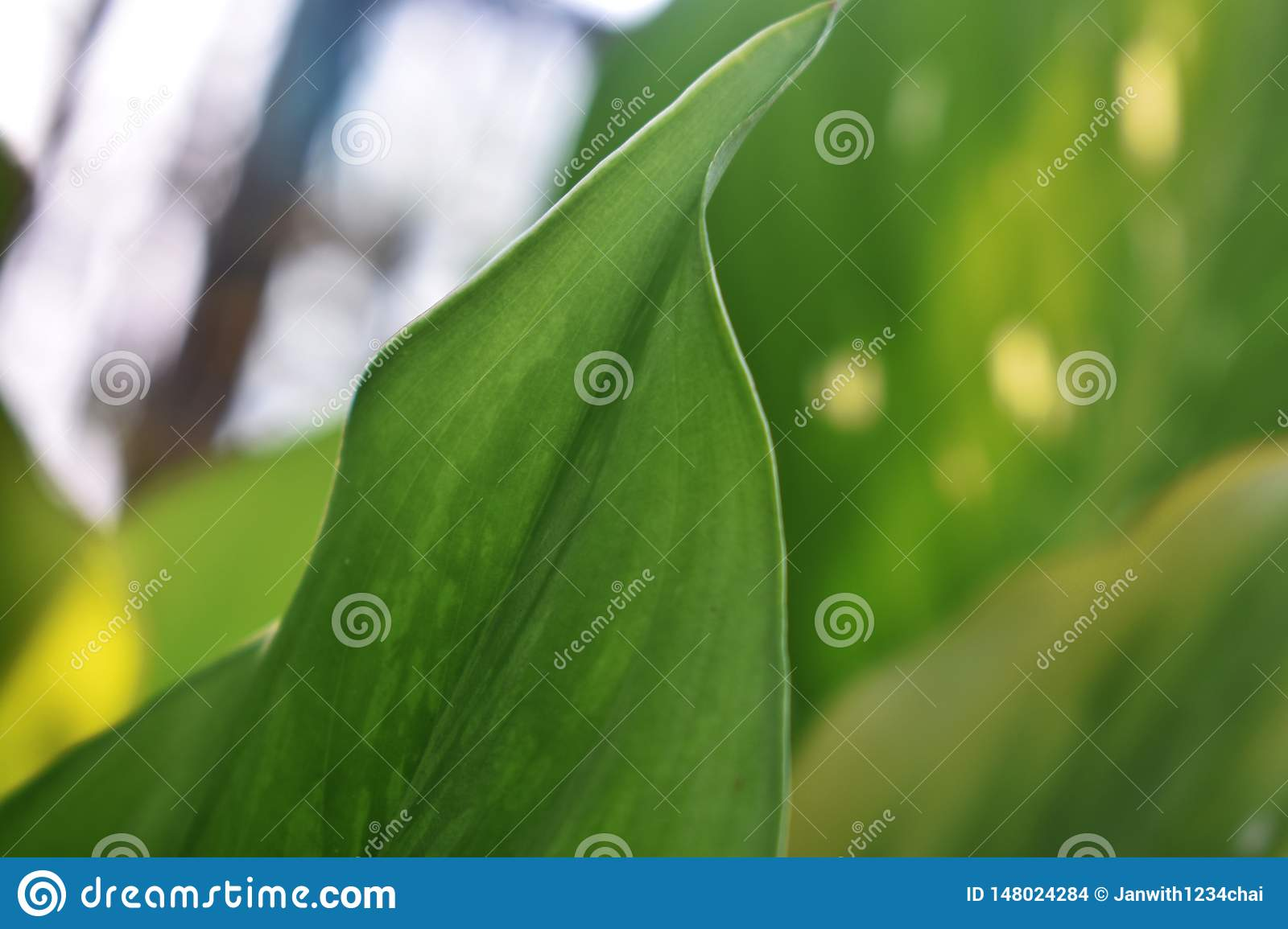 Characteristics of leaves, light green with spots closely