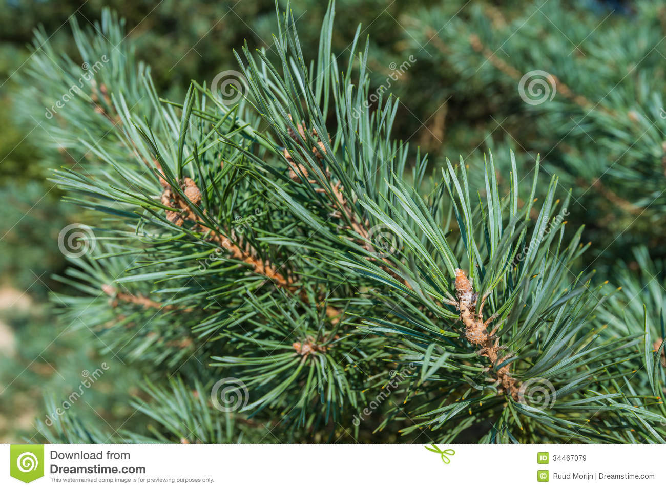 how to help jack pines