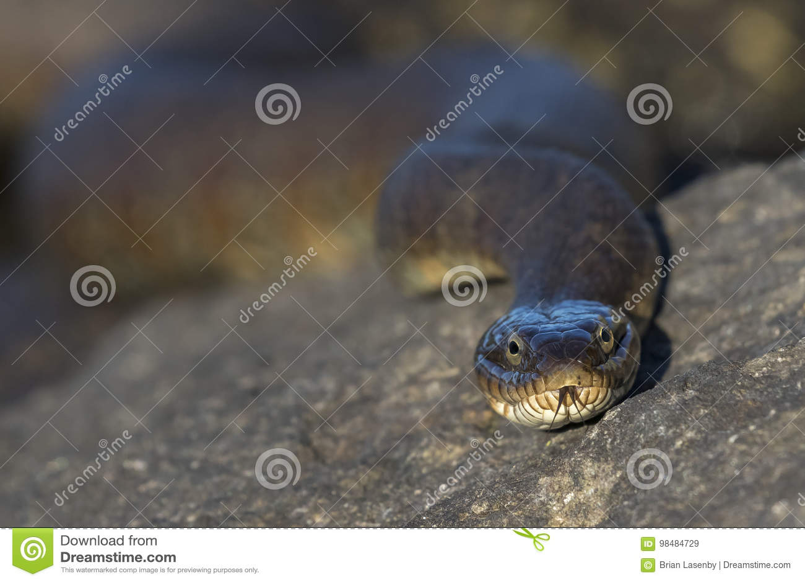 Closeup of a Northern Water Snake flicking its tongue - Ontario, Canada