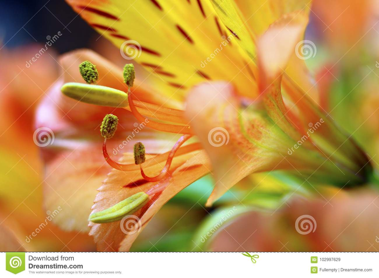 Closeup of orange peruvian lily flower stock image image of lily lily flower macro of orange and yellow lily of the incas alstroemeria in a bouquet of flowers izmirmasajfo Gallery