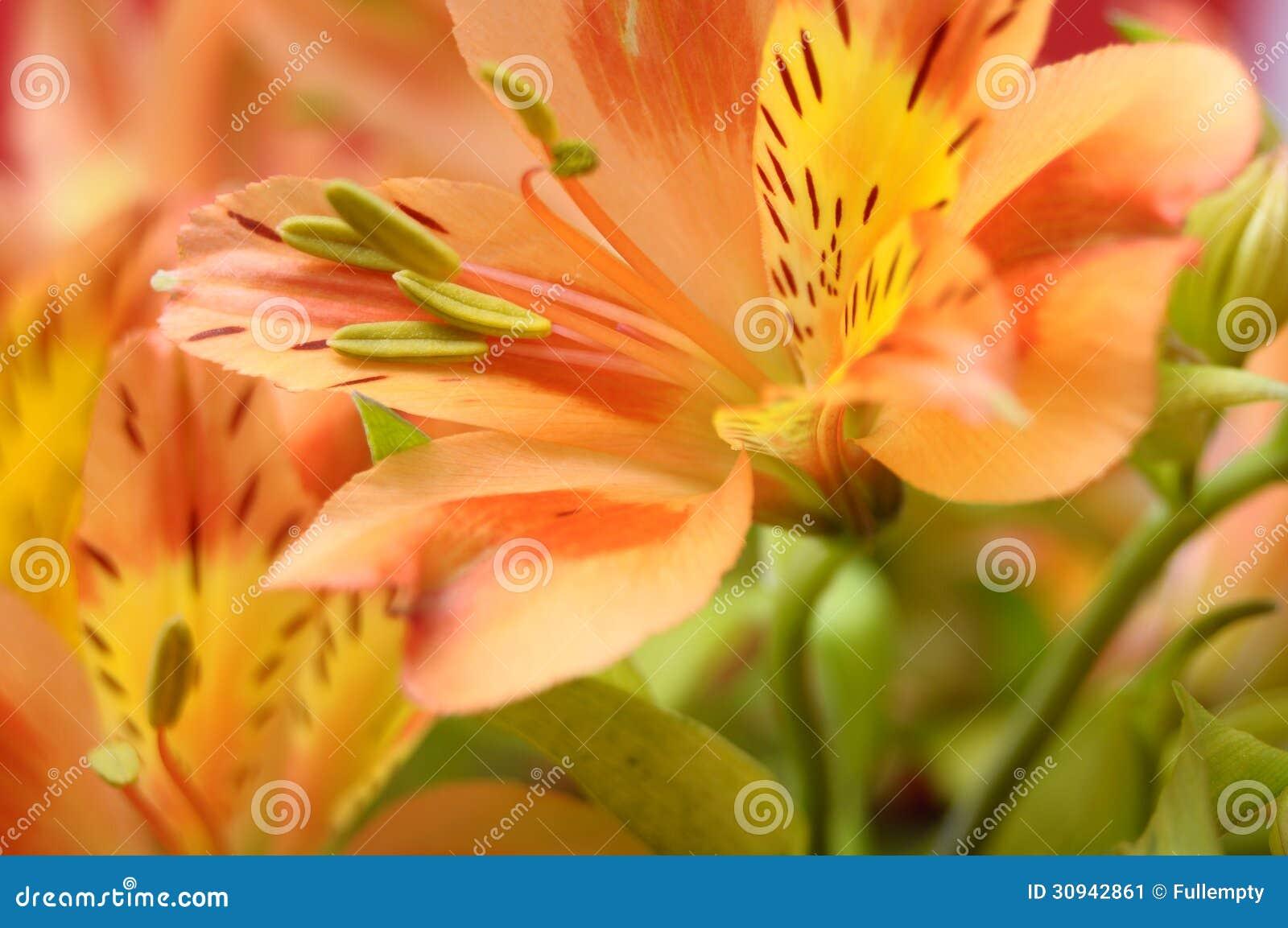 Closeup of orange peruvian lily flower stock image image of royalty free stock photo izmirmasajfo Gallery