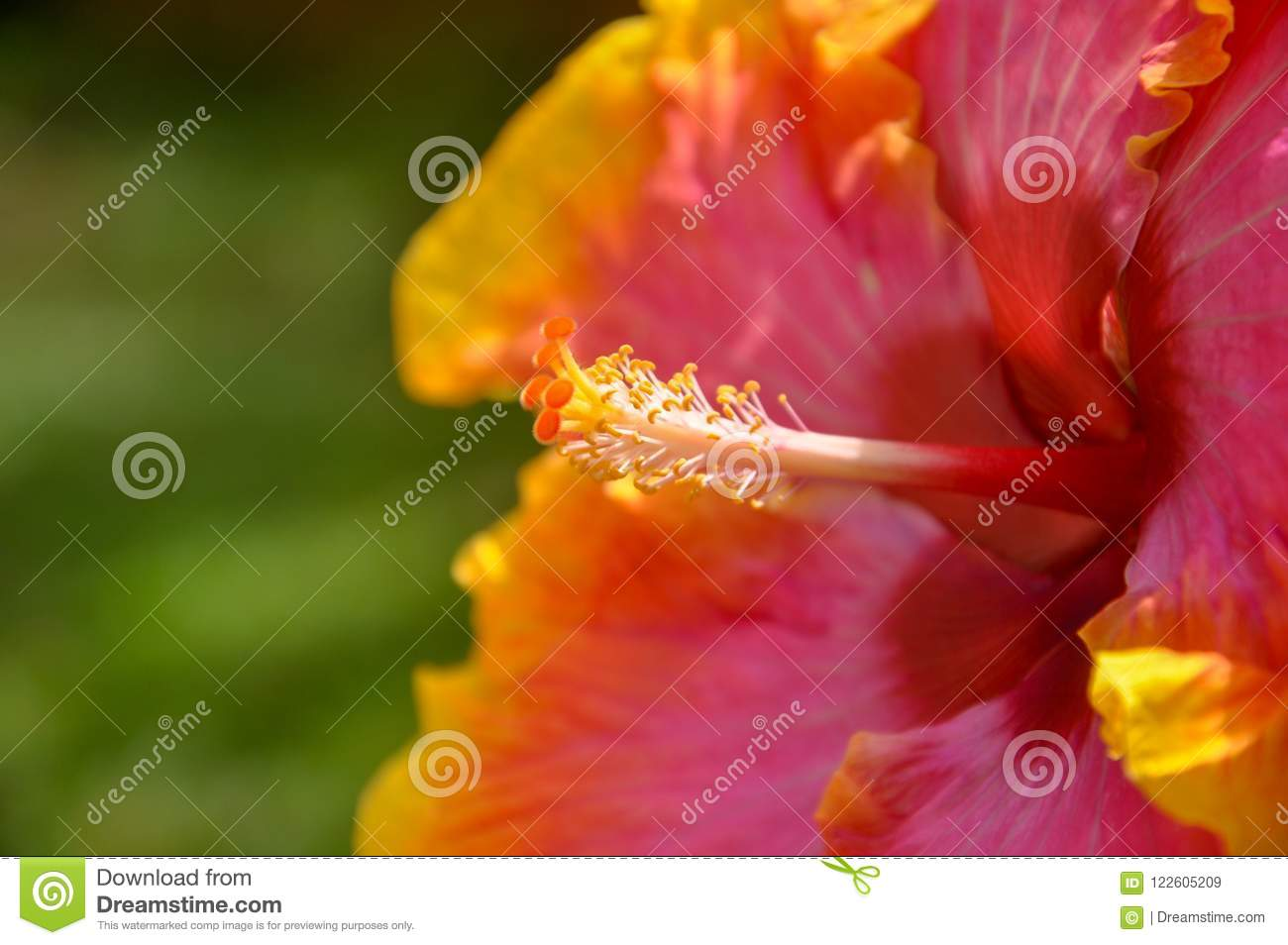 Closeup Of An Orange And Red Hibiscus Flower Showing Stigma And