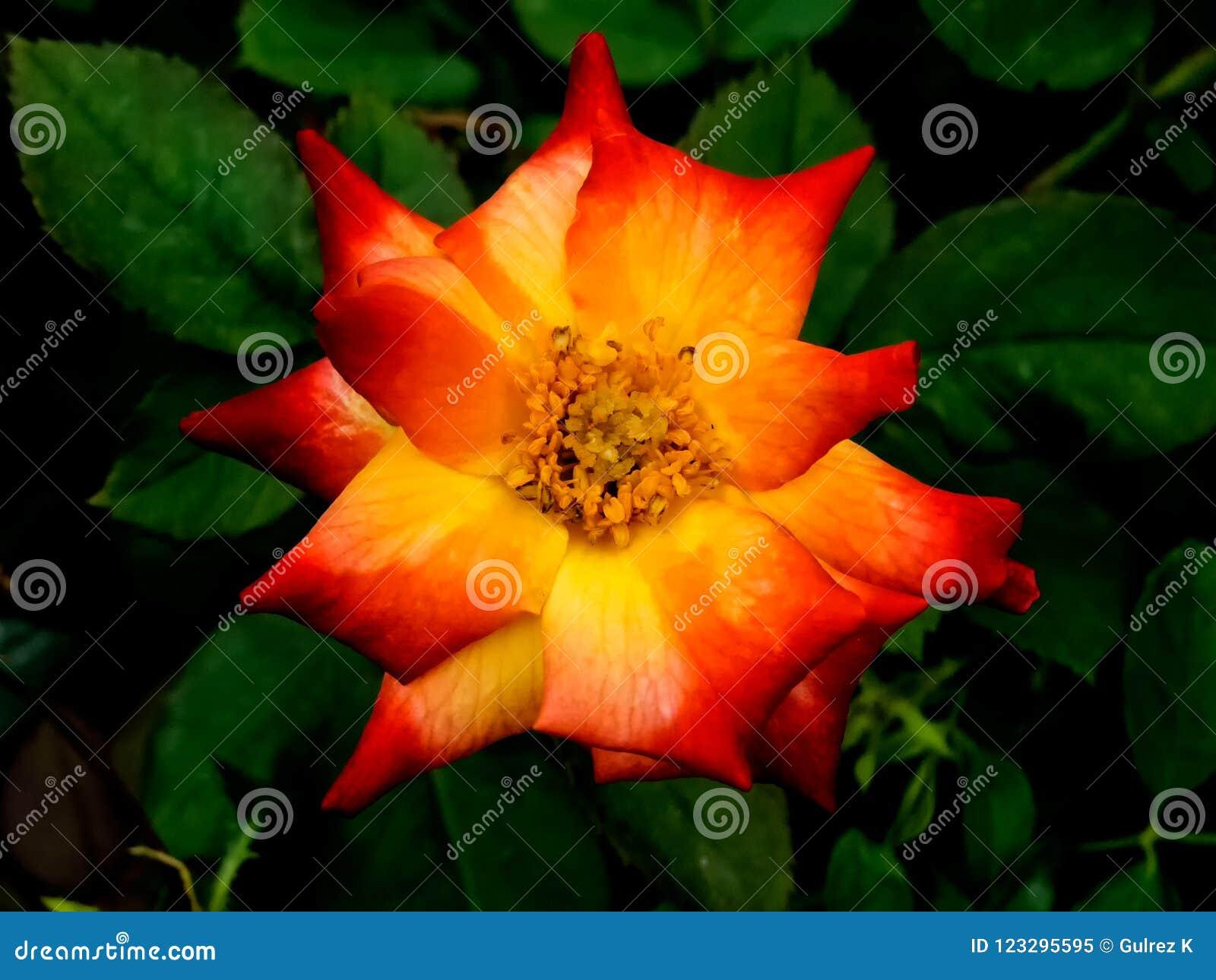 Closeup of a Orange/Yellow Rose