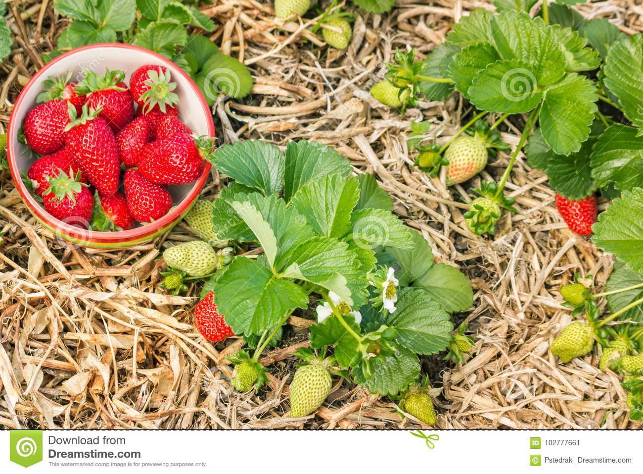 Organically grown strawberry plants with ripe strawberries in china bowl