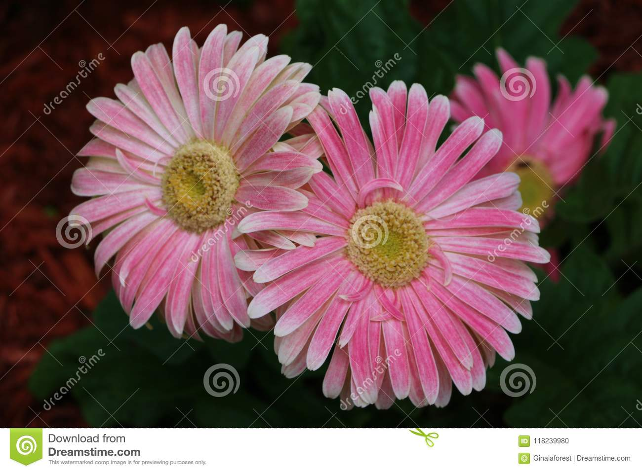 Pink Daisies Stock Photo Image Of Pollen Daisy Blossoms 118239980