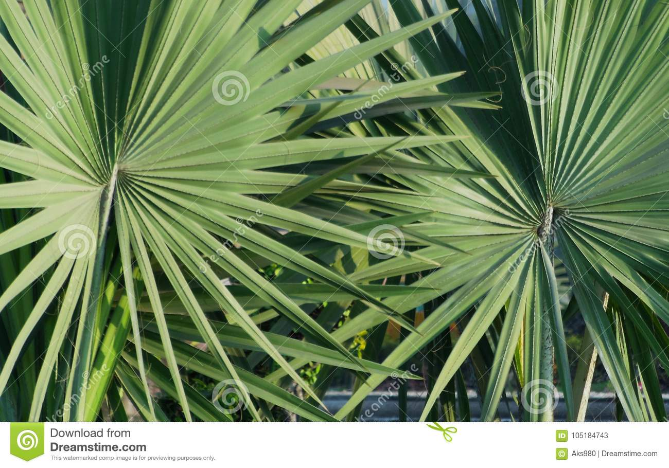 Closeup of pair of palmetto leaf abstract texture pattern background
