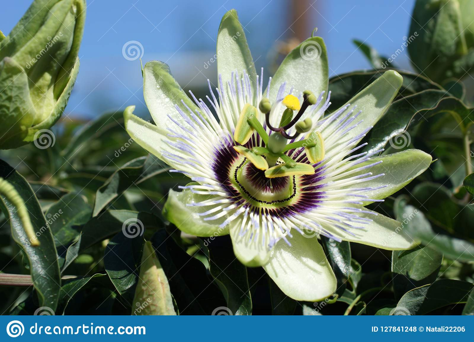 Closeup of passiflora flower in the open air.