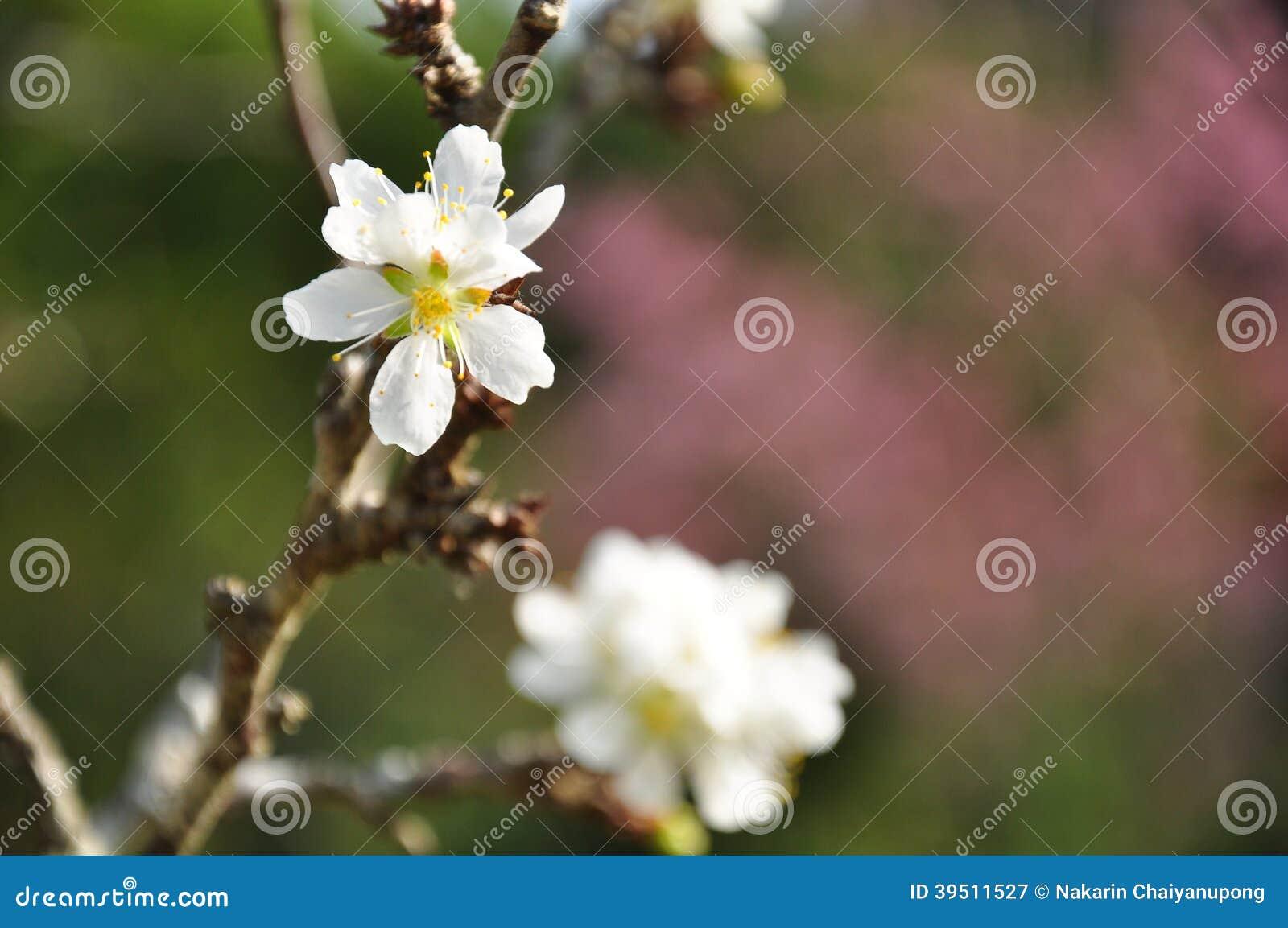 Closeup of peach flowers