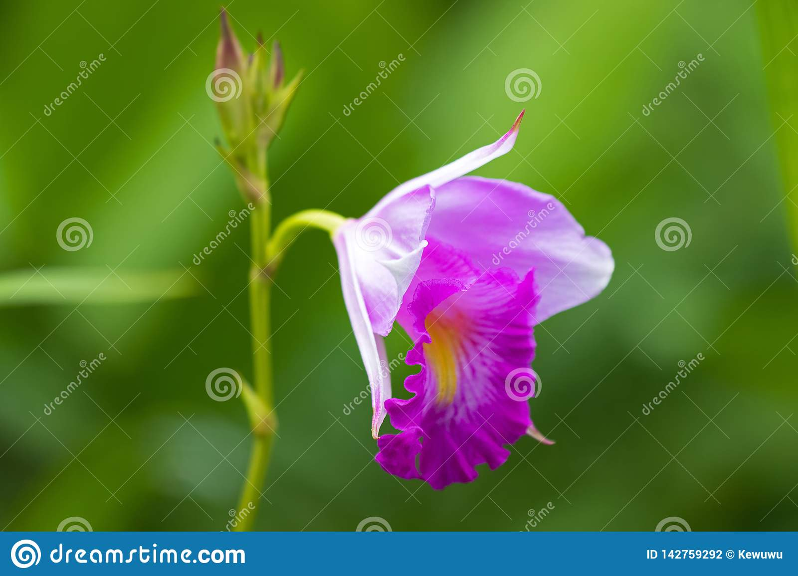 Closeup photo of bamboo orchid flower in white pink with blurred green background