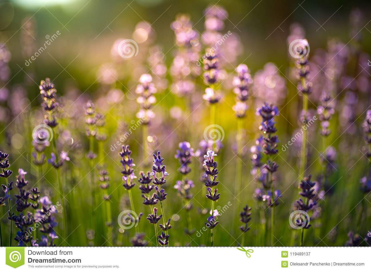 Closeup photo of beautiful gentle lavender flower field, abstract purple floral background, aromatic plant, beauty of summer