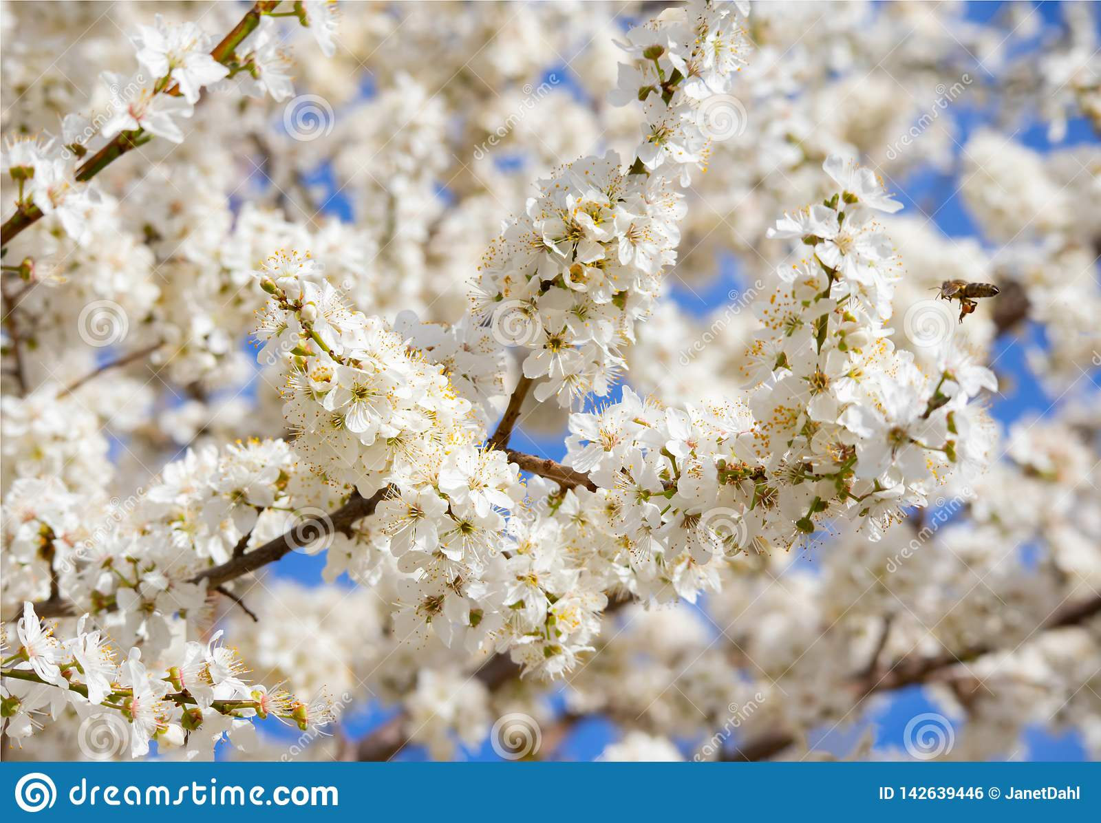 Closeup Photo of branches blooming fruit tree/ cherry tree.