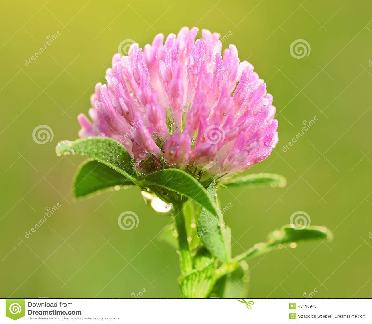 Closeup photo of a clover flower with