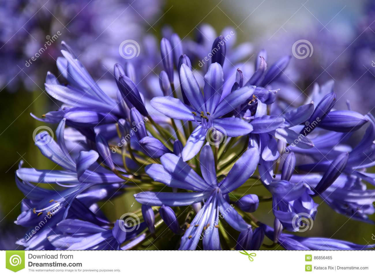 Closeup photo of lily of the nile also called african blue lily royalty free stock photo izmirmasajfo